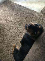 Miniature Pinscher Puppies for sale in Topeka, KS 66604, USA. price: NA