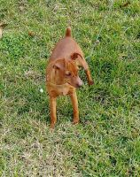 Miniature Pinscher Puppies for sale in Apopka, FL, USA. price: NA