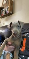 Miniature Pinscher Puppies for sale in Bennington, VT 05201, USA. price: NA