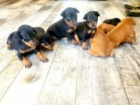 Miniature Pinscher Puppies for sale in Bloomington, CA, USA. price: NA