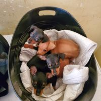 Miniature Pinscher Puppies for sale in Oakland, CA, USA. price: NA