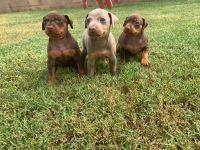Miniature Pinscher Puppies for sale in Rialto, CA, USA. price: NA