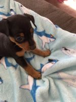 Miniature Pinscher Puppies for sale in Vacaville, CA, USA. price: NA