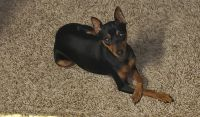 Miniature Pinscher Puppies for sale in Kansas City, MO, USA. price: NA