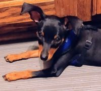 Miniature Pinscher Puppies for sale in Easley, SC, USA. price: NA