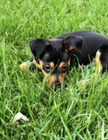 Miniature Pinscher Puppies for sale in Manteca, CA, USA. price: NA