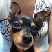 Miniature Pinscher Puppies for sale in Kailua, HI, USA. price: NA