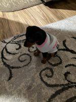 Miniature Pinscher Puppies for sale in 27 Creedmore Dr, Bunker Hill, WV 25413, USA. price: NA