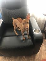 Miniature Pinscher Puppies for sale in Worcester, MA, USA. price: NA