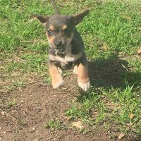 Miniature Pinscher Puppies for sale in San Antonio, TX, USA. price: NA