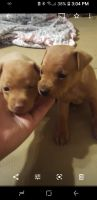 Miniature Pinscher Puppies for sale in Seagrove, NC, USA. price: NA