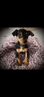 Miniature Pinscher Puppies for sale in Millersburg, IN 46543, USA. price: NA