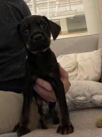 Miniature Pinscher Puppies for sale in Silver Spring, MD 20910, USA. price: NA