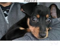 Miniature Pinscher Puppies for sale in Santa Ana, CA, USA. price: NA