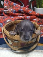 Miniature Pinscher Puppies for sale in Milton, PA, USA. price: NA