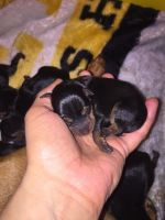 Miniature Pinscher Puppies for sale in Womelsdorf, PA 19567, USA. price: NA