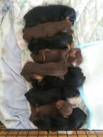 Miniature Pinscher Puppies for sale in Rochester, NY, USA. price: NA