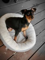 Miniature Pinscher Puppies for sale in Liberty, NY, USA. price: NA