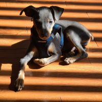 Miniature Pinscher Puppies for sale in MONTGOMRY VLG, MD 20879, USA. price: NA