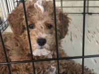 Miniature Poodle Puppies for sale in New York, NY, USA. price: NA