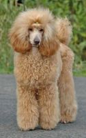miniature poodle dog