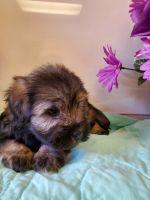 Miniature Schnauzer Puppies for sale in Tucson, AZ, USA. price: NA