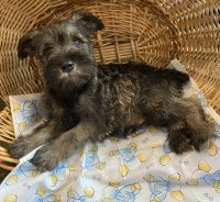 Miniature Schnauzer Puppies for sale in Marion, OH 43302, USA. price: NA
