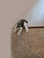 Miniature Schnauzer Puppies for sale in Arlington, WA 98223, USA. price: NA