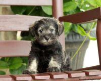 Miniature Schnauzer Puppies for sale in Dallas, OR 97338, USA. price: NA