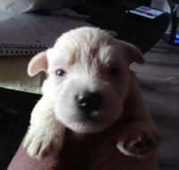 Miniature Schnauzer Puppies for sale in Oceanside, CA, USA. price: NA