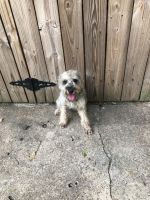 Miniature Schnauzer Puppies for sale in Humble, TX 77338, USA. price: NA