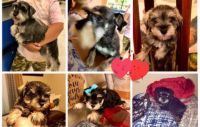 Miniature Schnauzer Puppies for sale in Sacramento, CA, USA. price: NA