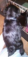 Miniature Schnauzer Puppies for sale in Hackleburg, AL 35564, USA. price: NA
