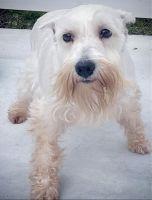 Miniature Schnauzer Puppies for sale in Tampa, FL, USA. price: NA