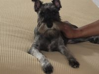 Miniature Schnauzer Puppies for sale in Denver, CO, USA. price: NA