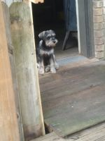 Miniature Schnauzer Puppies for sale in Springdale, AR, USA. price: NA