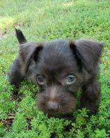 Miniature Schnauzer Puppies for sale in Dallas, TX, USA. price: NA