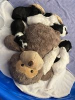 Miniature Schnauzer Puppies for sale in Las Vegas, NV, USA. price: NA