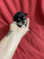 Miniature Schnauzer Puppies for sale in Waxhaw, NC 28173, USA. price: NA