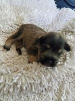 Miniature Schnauzer Puppies for sale in Louisa, KY 41230, USA. price: NA