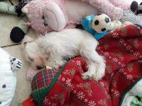 Miniature Schnauzer Puppies for sale in Santa Fe, TX, USA. price: NA