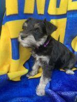 Miniature Schnauzer Puppies for sale in Fillmore, CA 93015, USA. price: NA