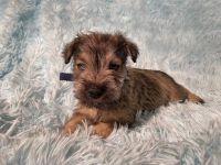 Miniature Schnauzer Puppies for sale in Twin Falls, ID, USA. price: NA