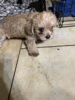 Miniature Schnauzer Puppies for sale in Tyler, TX, USA. price: NA