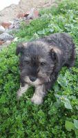 Miniature Schnauzer Puppies for sale in Porum, OK 74455, USA. price: NA