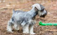Miniature Schnauzer Puppies for sale in Kensington, MD 20895, USA. price: NA
