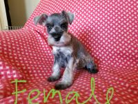 Miniature Schnauzer Puppies for sale in Findlay, OH, OH, USA. price: NA