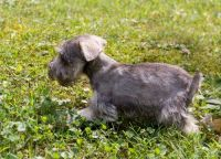 Miniature Schnauzer Puppies for sale in Lynco, WV 24827, USA. price: NA