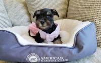 Miniature Schnauzer Puppies for sale in San Diego, CA, USA. price: NA