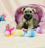 Miniature Schnauzer Puppies for sale in Houston, TX, USA. price: NA